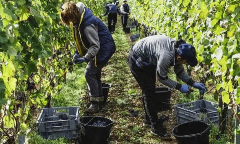 为吸引劳动力干农活,澳政府发出高达6000澳元现金奖励